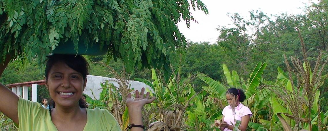 moringa harvest 2